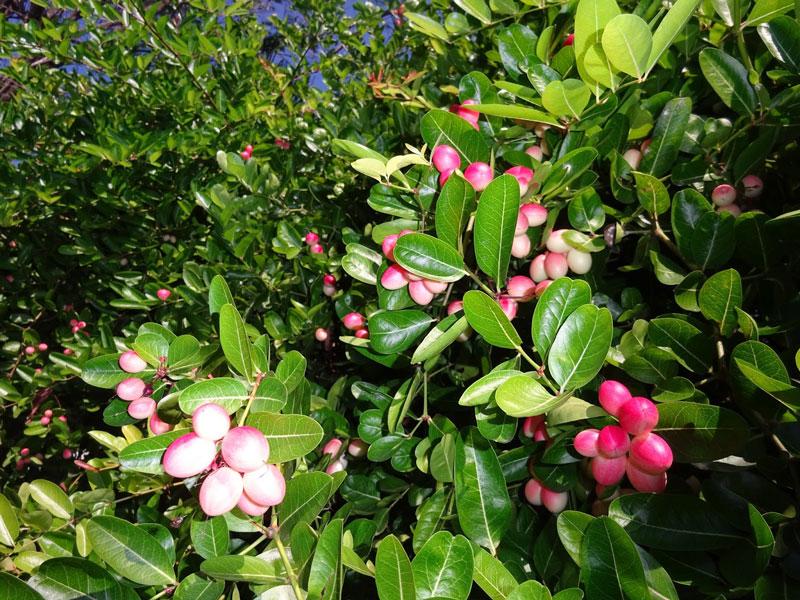 Bunga pada Pohon Gharqad