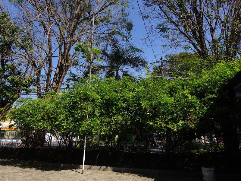 Ciri-Ciri Pohon Gharqad