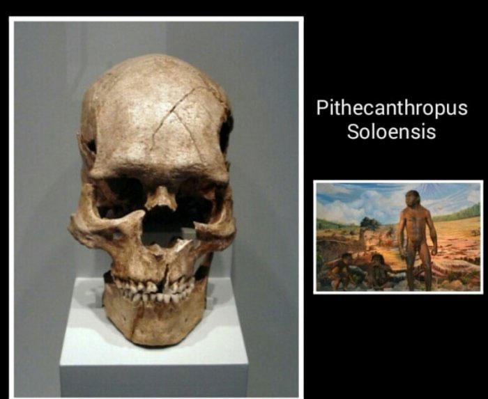Pithecanthropus Soloensis Ciri Ciri Dan Cara Hidup