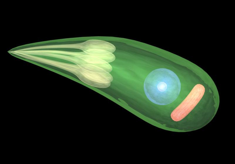 Sporozoa