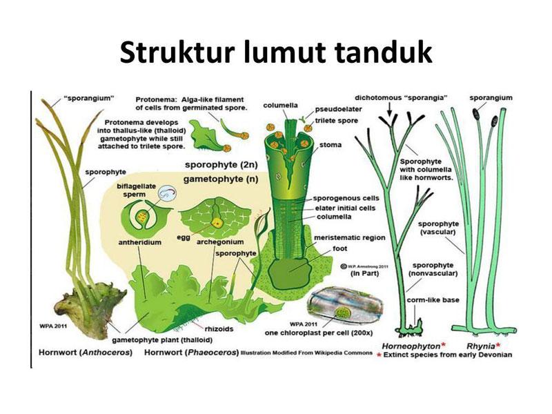 Struktur lumut tanduk