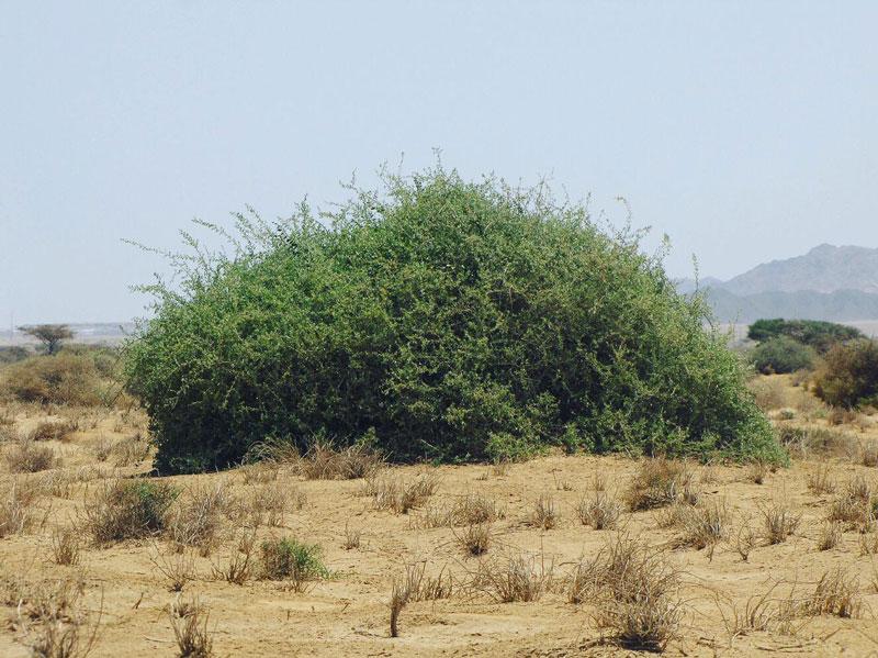 Pohon Gharqad