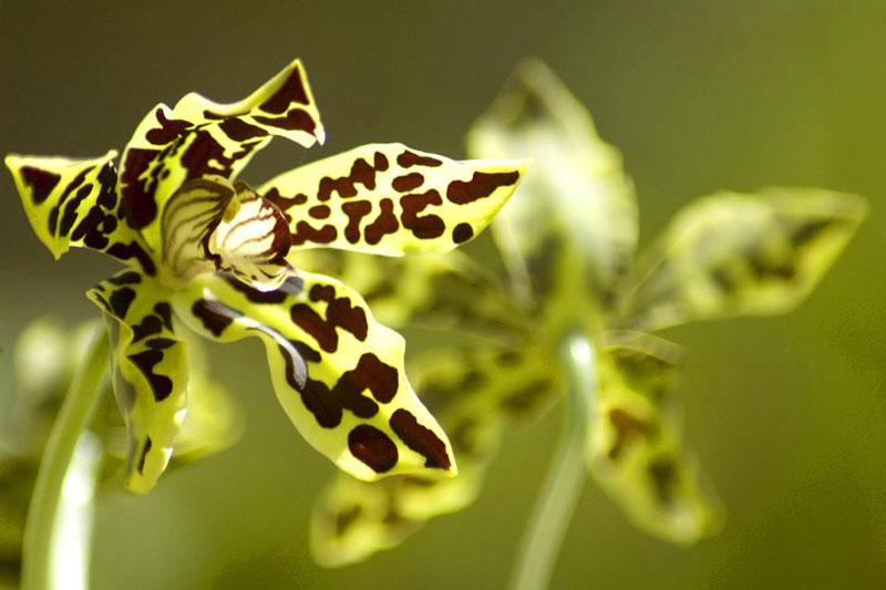 Flora Indonesia Tipe Asiatis