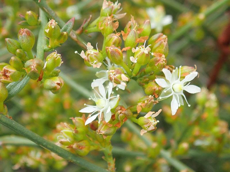 Flora Indonesia Tipe Australis
