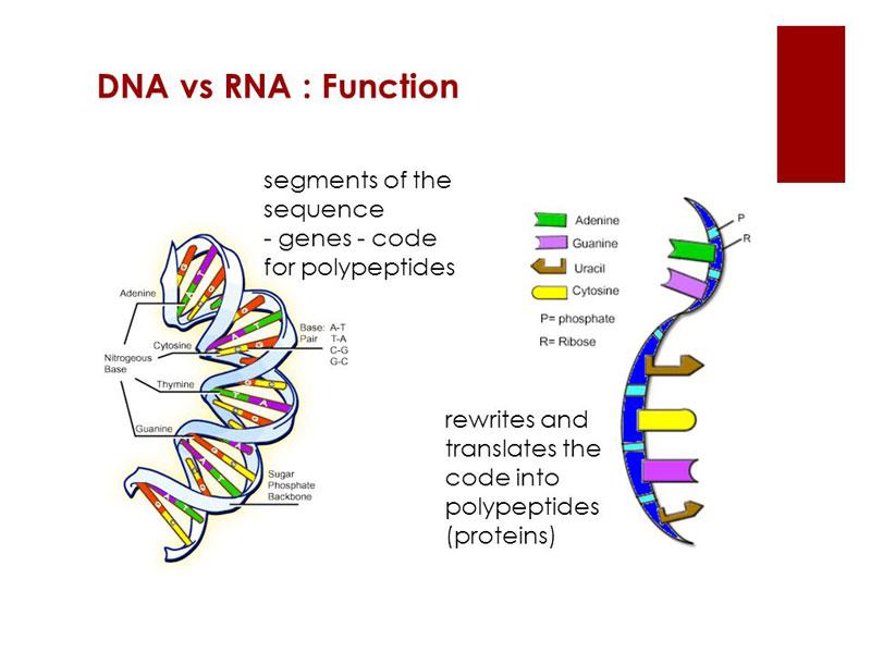 Fungsi DNA dan RNA