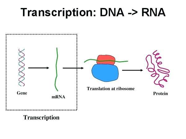 Proses Pembentukan DNA dan RNA