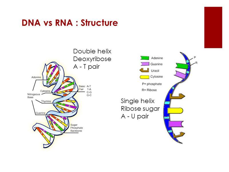 Struktur Penyusun DNA dan RNA